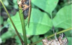Cicada Chaos